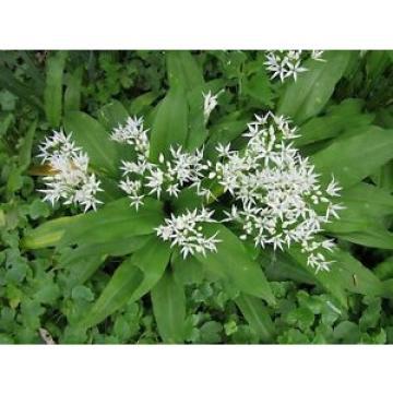 ☺25 graines d ail des ours. allium ursinum. garlic wild récolte 2017