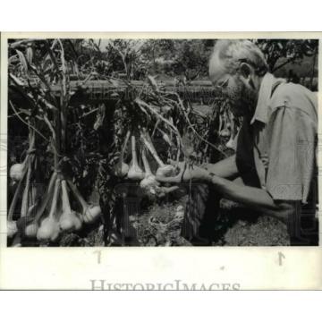 1984 Press Photo Wendell Stauffer checks on garlic crops - ora89177
