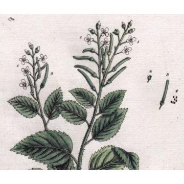 1759 Alliaria / Knoblauch-Kraut (Hedge Garlic), by Elizabeth Blackwell