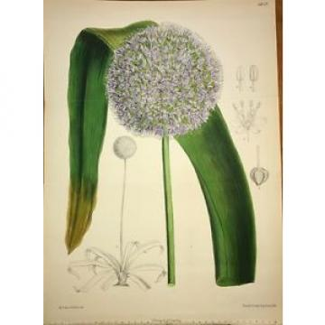 CURTIS BOTANICAL 1885 Vol 111 - Vol 41 3rd Series DOUBLE H/C - Garlic - 6828
