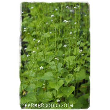 Alliaria petiolata 'Garlic mustard' [Ex. Co. Durham] 300+ seeds