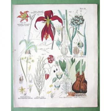 MEDICINAL PLANTS Lily Garlic Star of Bethlehem - 1837 H/C Color Botanical Print