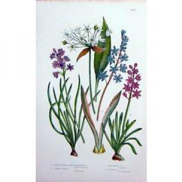 Antique Print C1870 Anne Pratt Plants Garlic Romsons Vernal Squill 166F127