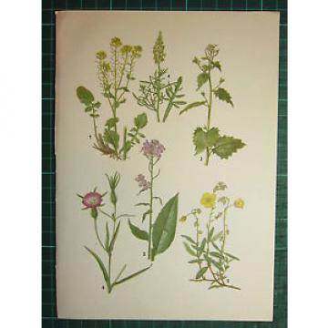 VINTAGE BOTANICAL BOTANY PRINT WINTER-CRESS GARLIC MUSTARD ROCKROSE CORN COCKLE