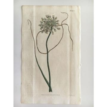 CURTIS BOTANICAL 1812 Vol 35 - H/C - Pendulous Flowered Garlic - 1432