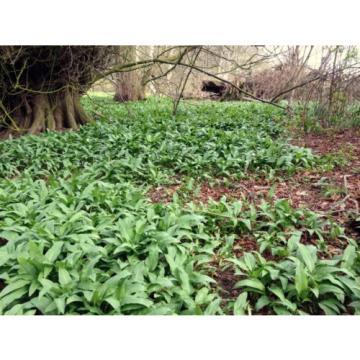50+ Scottish Wild Garlic In The Green Ramsons Allium Ursinum