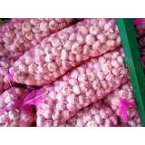 Elephant Garlic Grand A Garlic for Garlic Wholesale Buyers Purple Red Color