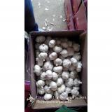 New Crop 6cm and up Purple Fresh Garlic In 10 kg carton  packing