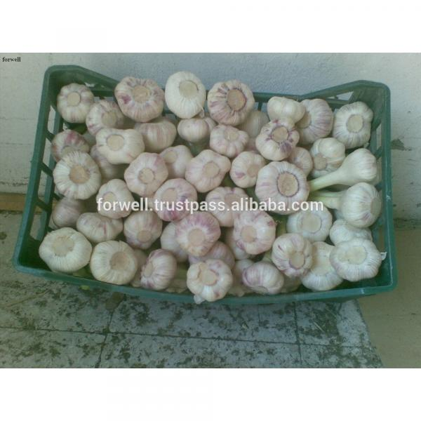 High Quality Best Price 100% Natural Egyption Fresh Super White Garlic #2 image