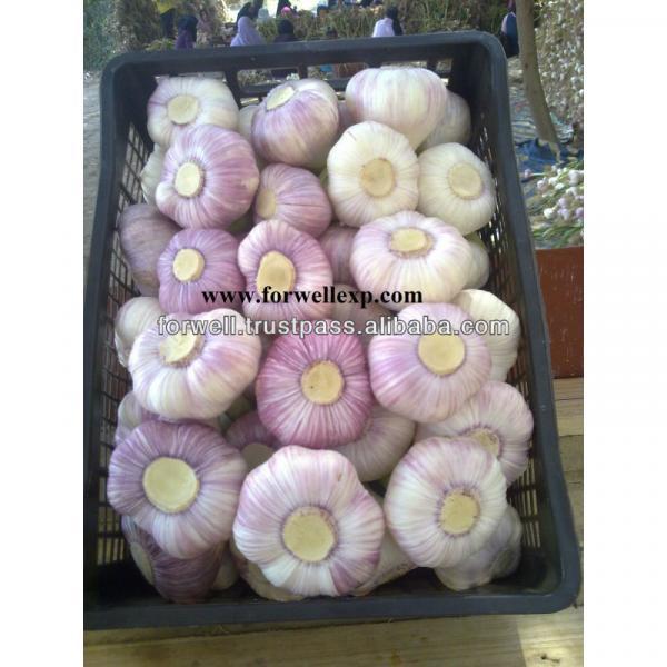 price special garlic ...best quality garlic...red white garlic #4 image