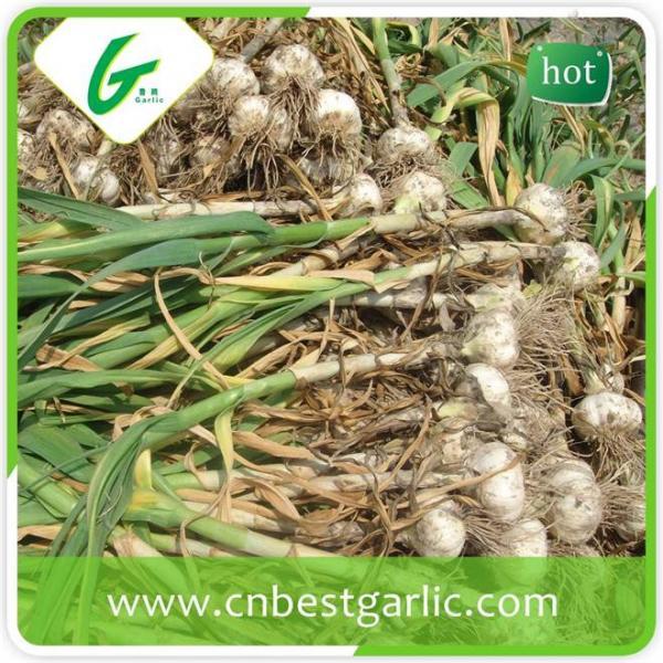 Good taste fresh chinese cheap garlic rates exporter #2 image