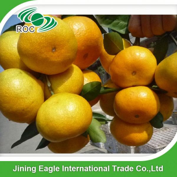 Sweet fresh citrus fruit baby mandarin orange #4 image