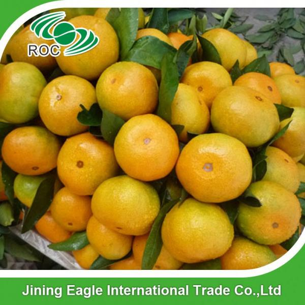 Sweet fresh citrus fruit baby mandarin orange #5 image