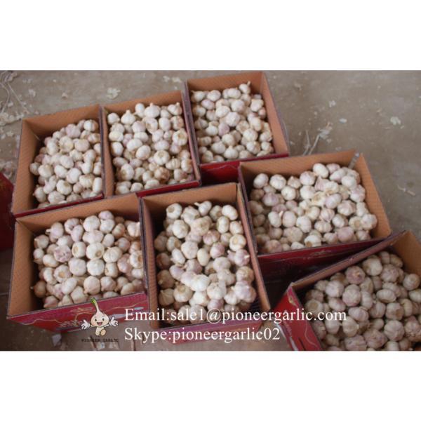 Chinese Fresh Red Garlic (Allium Sativum) Packed In Mesh Bag #1 image