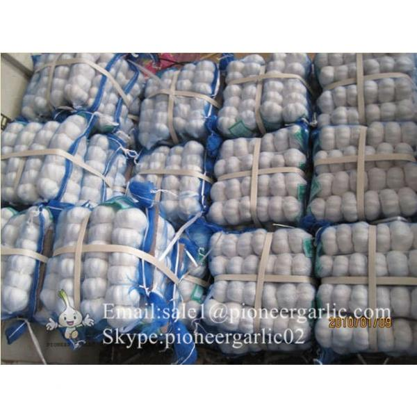 Best seller Normal White Garlic 5.0cm-5.5cm Packed in Mesh Bag or Carton Box #4 image