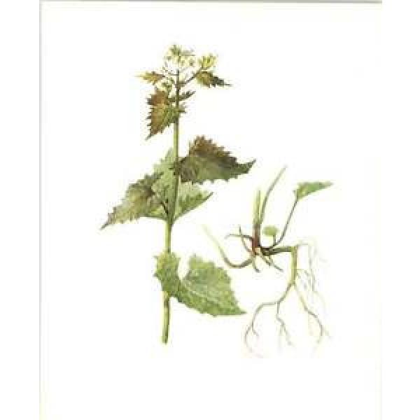 1914 Hedge Garlic Botanical Watercolour Mrs Perrin Art Print #1 image