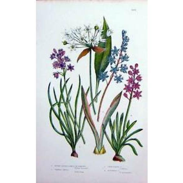 Antique Print C1870 Anne Pratt Plants Garlic Romsons Vernal Squill 166F127 #1 image